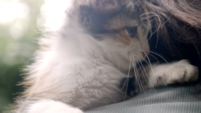 Close up of a young kitten playing with her owner's hair Close up of a young kitten playing with her owner's hair in slow motion tortoise shell stock videos & royalty-free footage