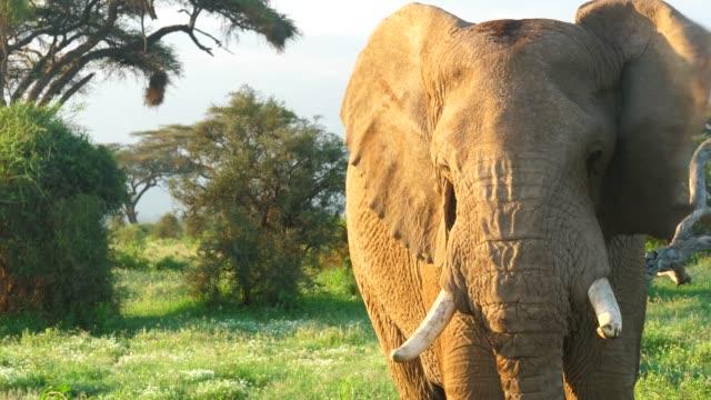 närbild av afrikansk elefant bete - single pampas grass bildbanksvideor och videomaterial från bakom kulisserna