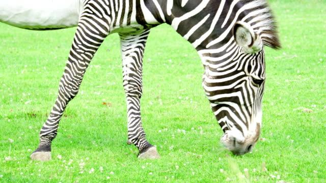 nahaufnahme des afrikanischen zebra in der savanne. zebra essen grünen rasen im nationalpark. wildes leben in der natur - großwild stock-videos und b-roll-filmmaterial