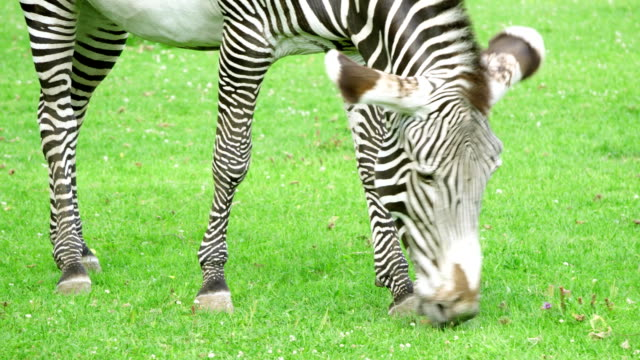 närbild av afrikansk zebra i savannah. zebra äta grönt gräs i national park. vilda liv utomhus - single pampas grass bildbanksvideor och videomaterial från bakom kulisserna