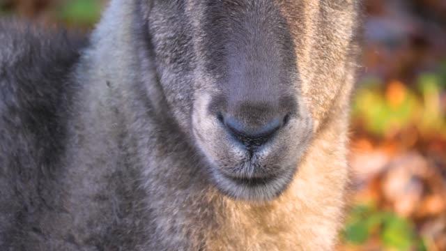 close up of alpine ibex capricorn. - jelonek filmów i materiałów b-roll