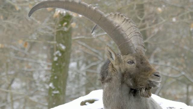 Close up of Alpine ibex head video