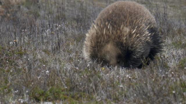 nahaufnahme einer echidna-fütterung in tasmanien - ameisenbär stock-videos und b-roll-filmmaterial