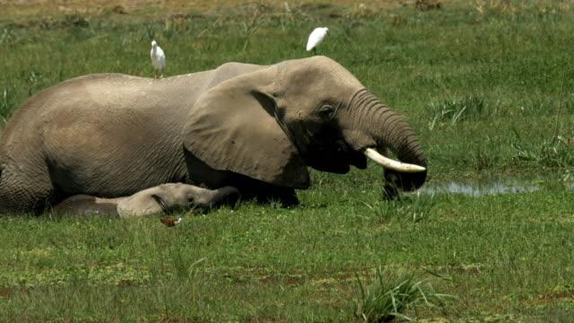 象と子牛アンボセリでマーシュに給餌のクローズ アップ - 野生動物旅行点の映像素材/bロール