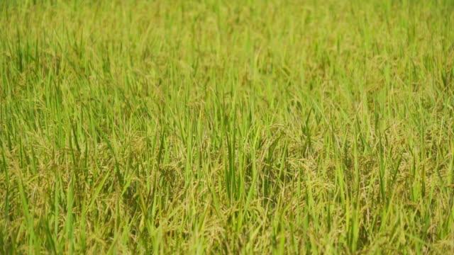nahaufnahme von asiatischem reis in grünen landwirtschaftlichen feldern mit pflanzen, die darauf warten, auf dem land oder auf dem land in asien geerntet zu werden. naturlandschaft hintergrund. - strohhut stock-videos und b-roll-filmmaterial