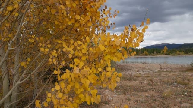 vídeos de stock, filmes e b-roll de close-up do álamo tremedor folhas tremulando na brisa - condado de pitkin