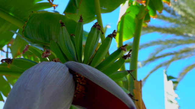 Close up of banana tree flower growing with a bunch of raw green fruits - video