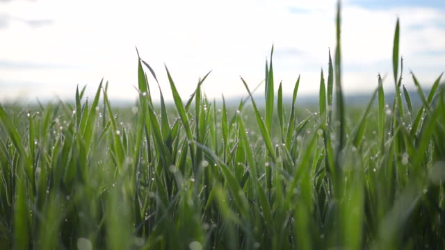slow motion: close up of beautiful green grass with morning dew on it summer - центральная европа стоковые видео и кадры b-roll