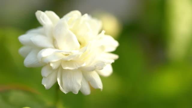 nahaufnahme von schönen jasmin sambac blume - jasmin stock-videos und b-roll-filmmaterial