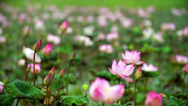 vídeos de stock, filmes e b-roll de perto de bela lótus no lago com o tiroteio de lenta. - lotus