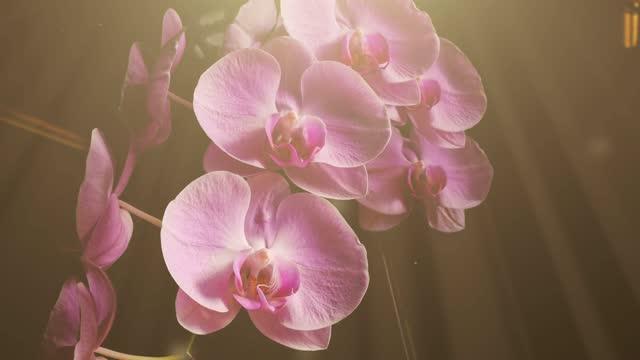 nahaufnahme der schönen orchidee auf schwarzem hintergrund. mit animation von sonnenlicht und schwebenden partikeln. zoomen sie in aufnahme. das thema ist auf der linken seite. - orchidee stock-videos und b-roll-filmmaterial