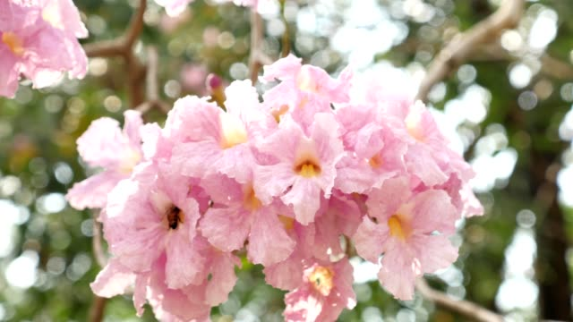 Close up of beautiful Tabebuia Rosea flower blooming in summer season