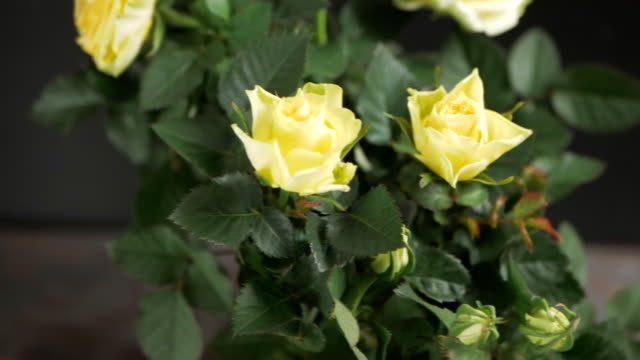 Close up of beautiful yellow roses on black background