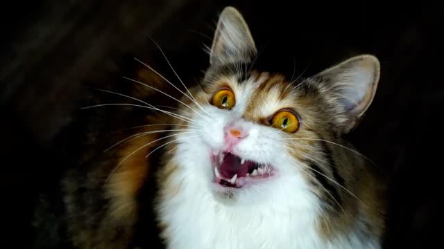 close up of beauty cat snarling. wild yellow eyes. - gattino video stock e b–roll