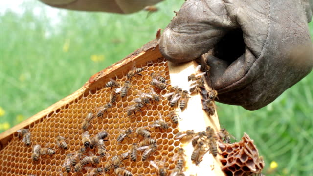 close up of beekeeper holding a honeycomb - ape operaia video stock e b–roll