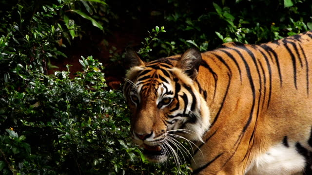 ormanda yürüyen bengal kaplanı yakın - kaplan stok videoları ve detay görüntü çekimi