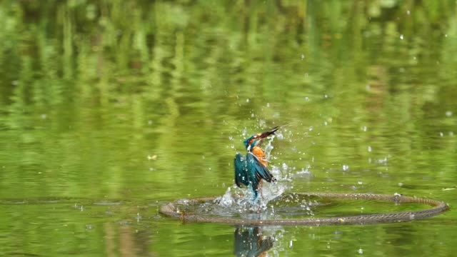 close up of bird kingfisher (alcedo atthis) diving into water, catch a fish and fly away, super slow motion footage. - uccello acquatico video stock e b–roll