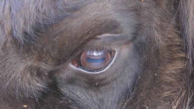 Close up of bison eye video
