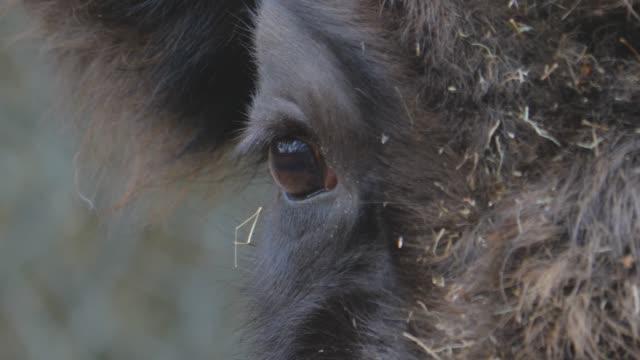 nahaufnahme des bisonkopfes. - bedrohte tierart stock-videos und b-roll-filmmaterial