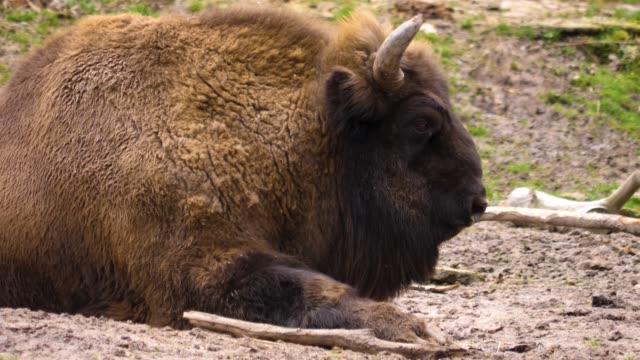 Close up of bison on the ground video