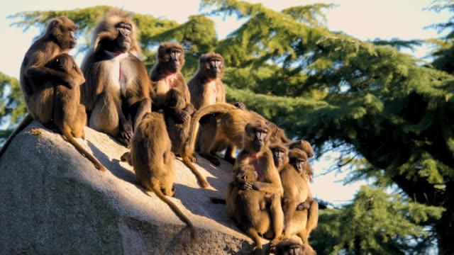Close up of Bleeding heart monkey group