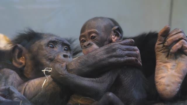 närbild på familjen bonobo - primat bildbanksvideor och videomaterial från bakom kulisserna