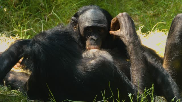 Close up of bonobo mother and baby