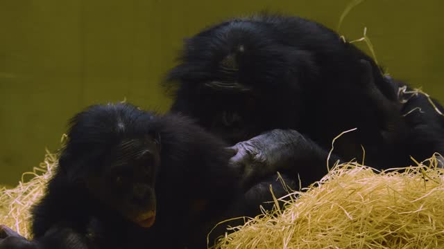 Close up of bonobo mother and young