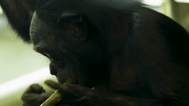 Close up of bonobo