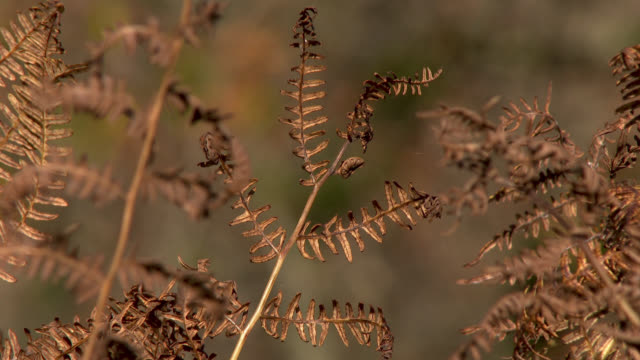 Close up of bracken in autumn 4K footage shot at 50fps and interpreted at 25fps to give a slow motion dumfries and galloway stock videos & royalty-free footage