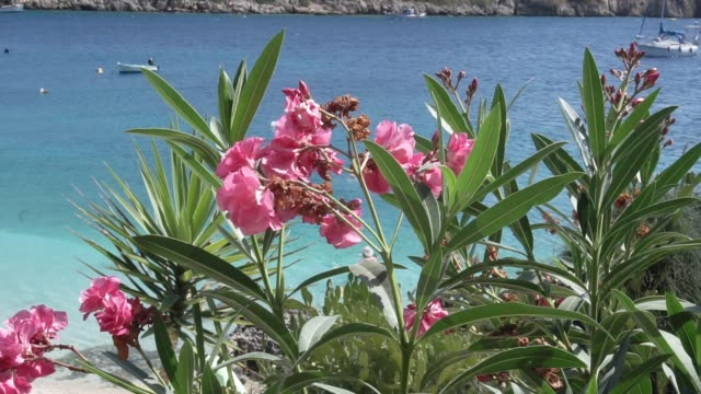 Close up of bright  blossom flowers in front of the sea bay with some huge granite rocks and defocused long tail boat wiggle in the wind