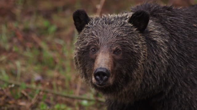 Close up of brown bear in the Canadian woods