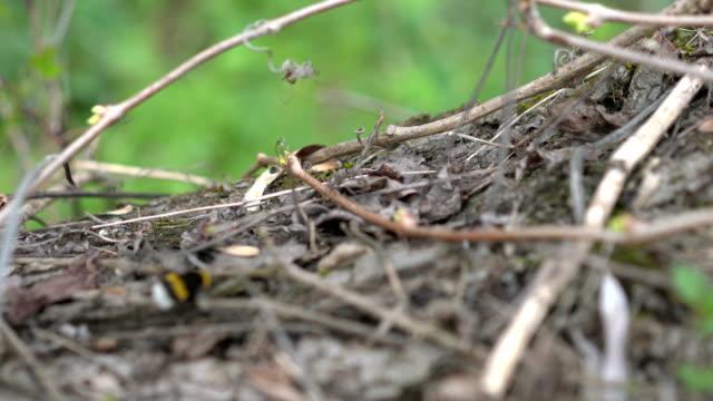 Close Up of Bumblebee - vídeo