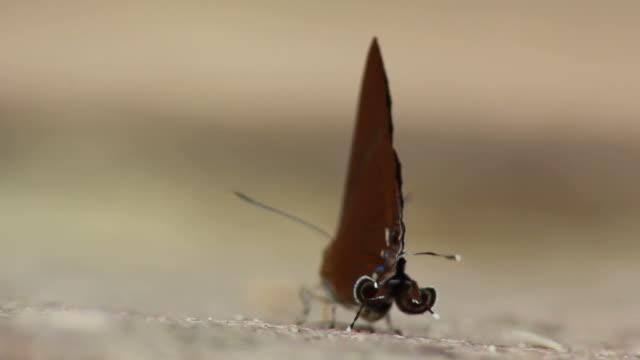 primo piano di una farfalla - torace animale video stock e b–roll