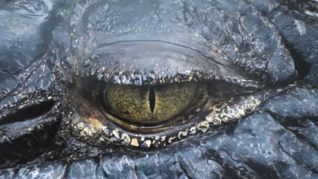 Close up of caiman crocodile video