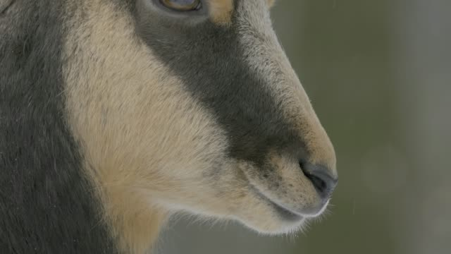 Close up of chamois head video