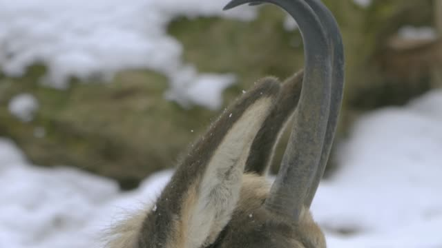 Close up of chamois head