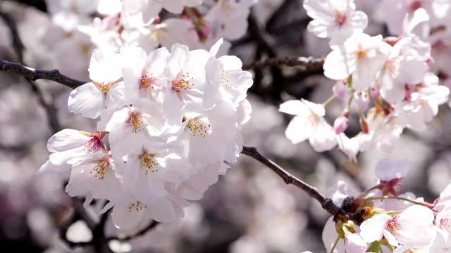 日光で咲く桜のクローズアップ - 桜点の映像素材/bロール
