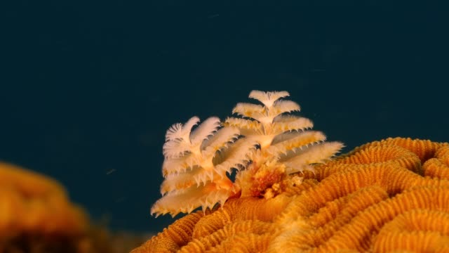 Close up of christmas tree worm as a part of the coral reef in the Caribbean Sea around Curacao Super Macro of the reef around Curaçao /Netherlands Antilles hard coral stock videos & royalty-free footage