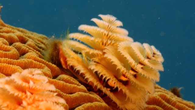 Close up of christmas tree worm as a part of the coral reef in the Caribbean Sea around Curacao Super Macro of the reef around Curaçao /Netherlands Antilles cleaner shrimp stock videos & royalty-free footage