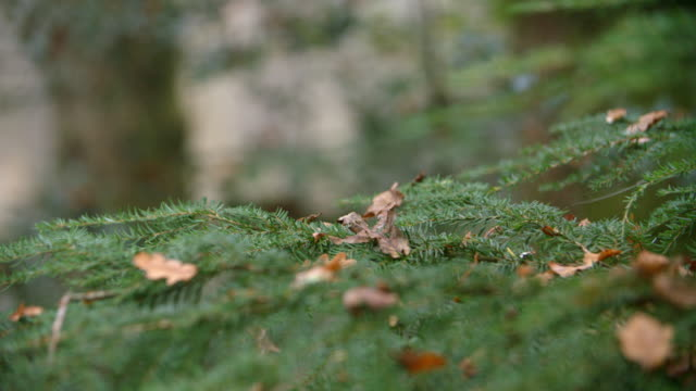 Close Up Of Coniferous Tree Branches On Tree In Autumn Woods video