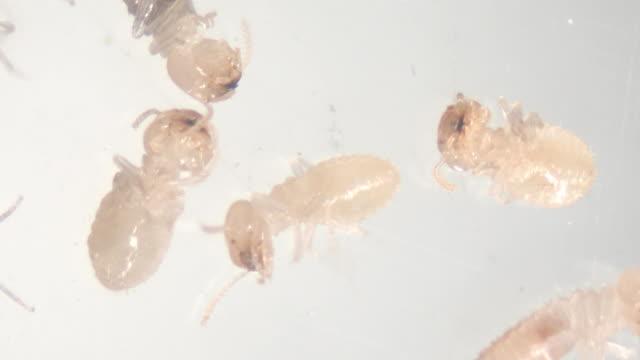 närbild av coptotermes sp. är ett släkte termiter i familjen rhinotermitidae för utbildning i lab. - ancient white background bildbanksvideor och videomaterial från bakom kulisserna