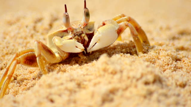 Close Up Of Crab On Beach Sand video