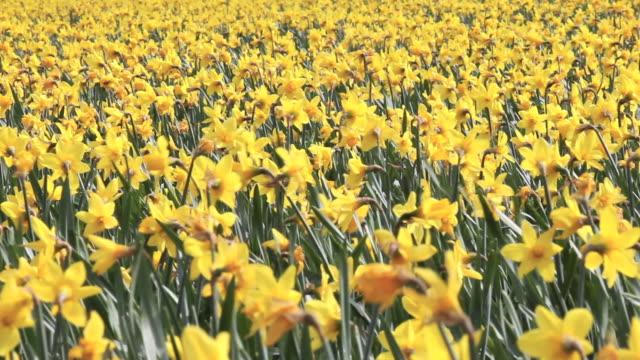 Close up of daffodils in a field. Lincolnshire U.K video