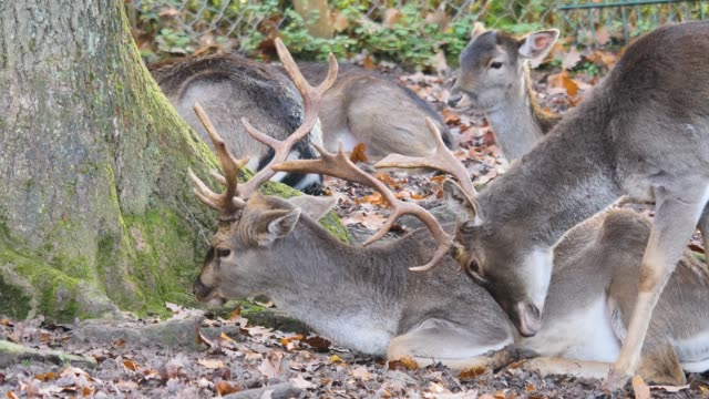 close up of dam deer - jelonek filmów i materiałów b-roll