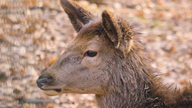 close up of dam deer - poroże filmów i materiałów b-roll