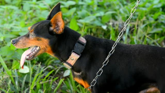 Close up of dog barking video