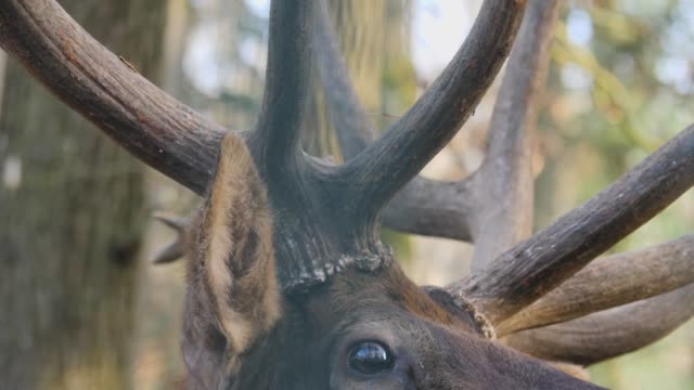 close up of elk wapiti male deer - poroże filmów i materiałów b-roll