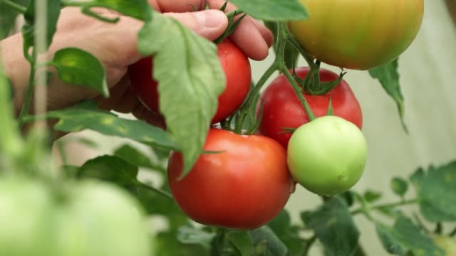 close up of farmer's male hands picks red ripe tomato in drops of dew from branch in greenhouse. harvest time. - pomodoro video stock e b–roll