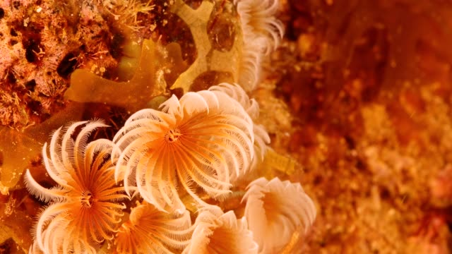 Close up of feather duster worm as a part of the coral reef in the Caribbean Sea around Curacao Super Macro of the reef around Curaçao /Netherlands Antilles cleaner shrimp stock videos & royalty-free footage